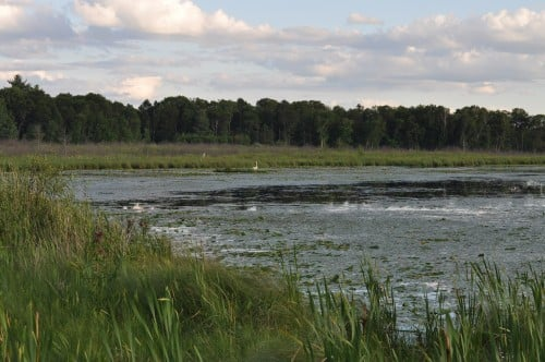 and, see a swan hanging out in the reeds.