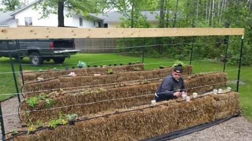 Biker Chef planting the starts into the straw bales. Mid-May in Minnesota