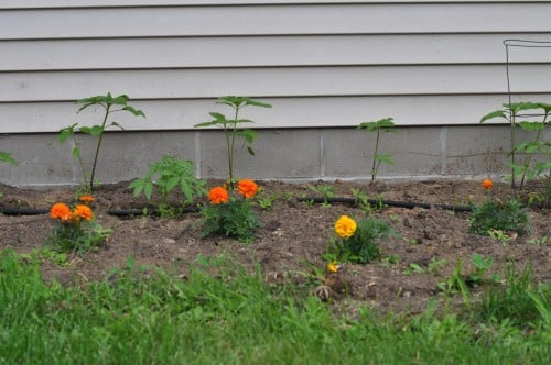 View of the east side of the house. Marigolds, tomato plants, and sunflowers at the back.