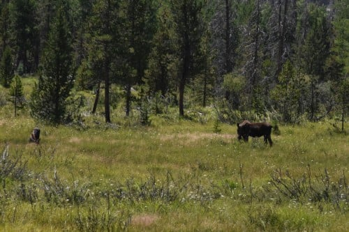 Mama Moose and her calf in the Rocky Mountain National Park